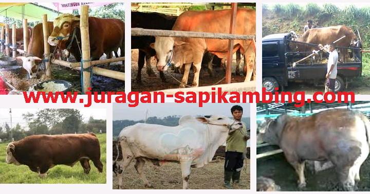 jual sapi harga murah qurban www.juragan-sapikambing.com